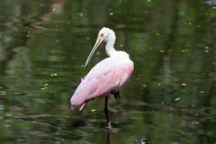 在拔塞螺旋沼泽佛罗里达的粉红琵鹭 免版税库存照片