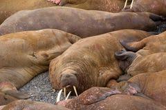 在拖拉站点的生活大西洋海象是至多睡眠和小冲突与邻居 免版税库存照片