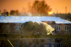 在招呼日落和太阳的阳台的两只恋人鸠 库存图片