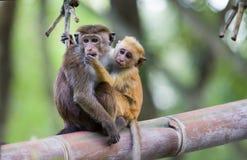 在拥抱的两只猴子在竹树 图库摄影