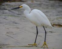 在拿着一件小珍宝的海滩的白鹭 库存照片