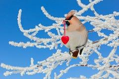 在拿着在它的额嘴红色心脏的分支的太平鸟 免版税库存图片
