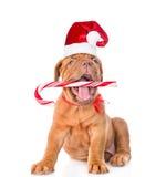 在拿着棒棒糖的红色圣诞节帽子的红葡萄酒小狗在他的mo 免版税库存照片