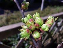 在按钮的樱桃树 免版税库存图片