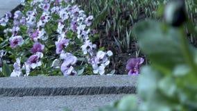 在挥动在微风的花圃的蝴蝶花 股票录像