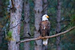 在挪威松树分支栖息的美丽的白头鹰 免版税库存图片
