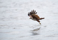 在捉住它的食物的水表面上的一次海鹰着陆 免版税库存照片