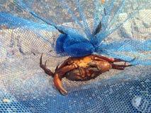 在捉蟹英国海边艾塞克斯的蓝色净海滩的橙色螃蟹 免版税库存图片
