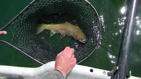 在捕鱼网的虹鳟 库存照片