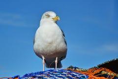 在捕鱼网的鲱鸥 库存图片