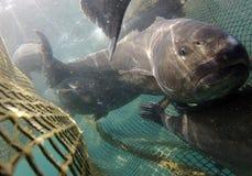 在捕鱼网的贫乏鱼 库存照片