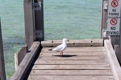 在捕鱼跳船奥古斯塔西方澳洲的海鸥 免版税图库摄影