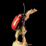 在损坏的叶子的红色百合甲虫 库存图片