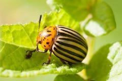 在损坏的绿色土豆叶子的科罗拉多甲虫 宏观看法虫害,浅景深 在树干的绿色和黄色叶子 免版税库存图片