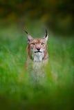 在捷克森林美丽的大野生猫的绿草掩藏的欧亚天猫座在自然森林栖所 野生生物场面从 免版税图库摄影
