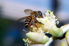 在授粉的蜂作用 库存图片