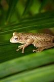 在掌上型计算机叶状体的古巴雨蛙 库存照片