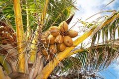 在掌上型计算机的椰子 免版税库存照片