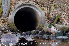 在排水管前面的野鸭雄鸭 库存图片
