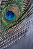 在掠过的金属的孔雀羽毛 免版税库存图片