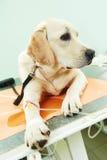 在接种下的Ladrador狗在诊所 免版税库存照片