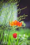 在控制太阳的第一朵春天郁金香花在绿叶,一个垂直的框架中 库存照片