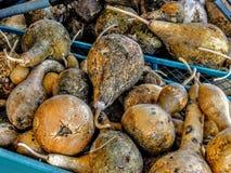在推车老腐朽的烂掉的金瓜 免版税库存照片