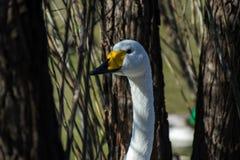 在掩藏在树中的池塘边缘的白色天鹅 图库摄影