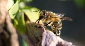 在掩藏它的面孔的花的蜂 免版税图库摄影