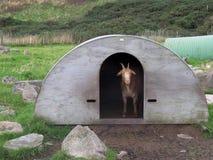 在掩藏的山羊 库存图片