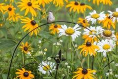 在掩藏的蜂鸟 免版税库存照片