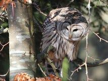 在起斑纹的光的条纹猫头鹰 免版税库存照片