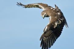在搜索的红色被盯梢的鹰 免版税库存图片