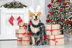 在摆在与圣诞节的礼物盒的鹿角的滑稽的狗 图库摄影