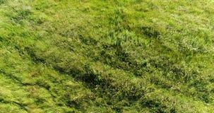 在摇摆在风的干草原草的飞行 俄国 股票视频
