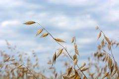在摇摆在风的领域的燕麦五谷,反对天空 免版税库存照片