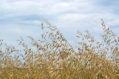 在摇摆在风的领域的燕麦五谷,反对天空 免版税库存图片