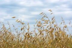 在摇摆在风的领域的燕麦五谷,反对天空 图库摄影