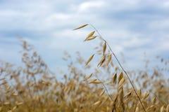 在摇摆在风的领域的燕麦五谷,反对天空 库存图片