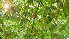 在摇摆牙买加樱桃树下 股票视频