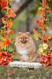 在摇摆的红色Pomeranian在秋天公园 库存图片