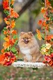 在摇摆的红色Pomeranian在秋天公园 免版税图库摄影