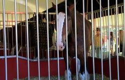 在摊位在百威展示期间,萨拉托加,纽约的美丽的Clydesdale马, 2016年 免版税库存图片
