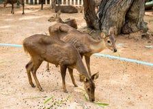 在摊位的两头幼小棕色鹿 库存照片