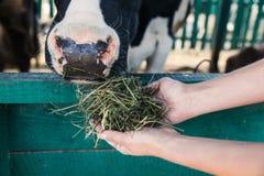 在摊位的农夫哺养的母牛 库存图片