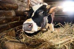 在摊位的小牛 免版税库存照片