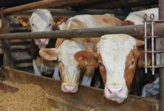 在摊位的母牛 免版税库存图片