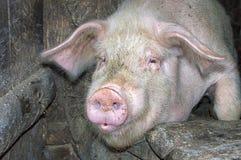 在摊位的滑稽的桃红色猪 免版税库存照片