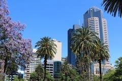 在摩天大楼中的淡紫色兰花楹属植物和棕榈树在墨尔本 免版税库存照片
