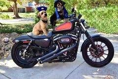 在摩托车的两条犹太Havanese狗 免版税图库摄影